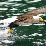 Bald Eagle just above the water, flying off with a fish