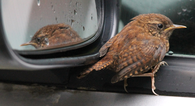 wren holding on the car window edge, reflected in rear view mirror