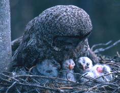 great gray owl and fuzzy babies
