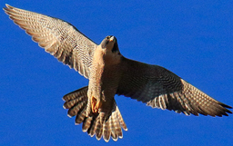 Peregrine Falcon from below