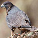peregrine falcon on rock