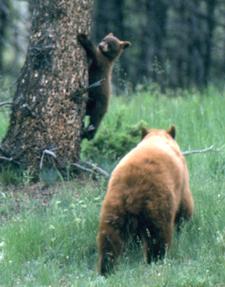 bear cub part way up a tree