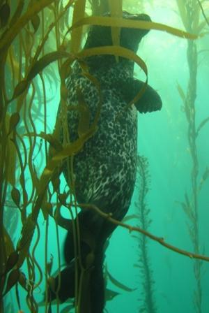 seal in kelp