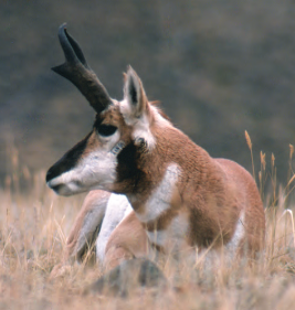 pronghorn buck NPS photo