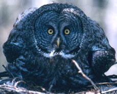 great gray owl facing the viewer
