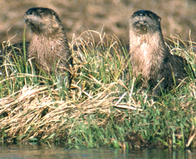 2 river otters on a grassy bank by water