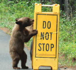 bear cub standing up and touching a sign that says Do Not Stop