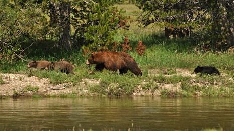 bears walking along a river bank in Yosemite