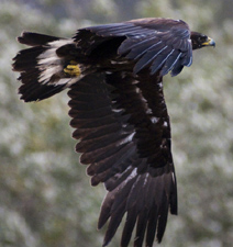 bird in flight one wing widespread