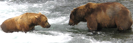 two bears facing each other in a river