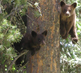 two bear cubs on branches in tree