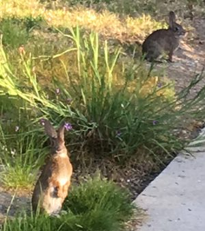 2 rabbits, one standing up