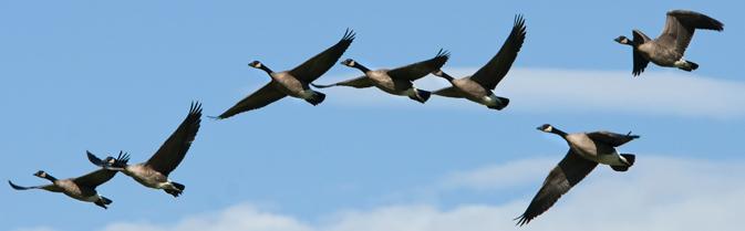 birds in flight in a line