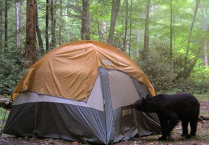 bear sniffing at a tent