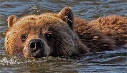bear in river swimming