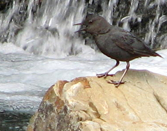 nps photo water ousel 328 pixels