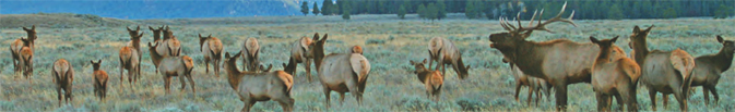 herd of elk, bull with head raised to bugle