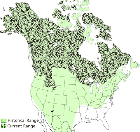 map of Canada and the United States with dots representing current range of wolves mostly in Canada, and historical range in most of both countries