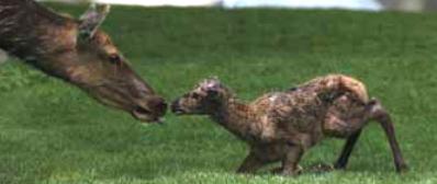 elk calf and cow