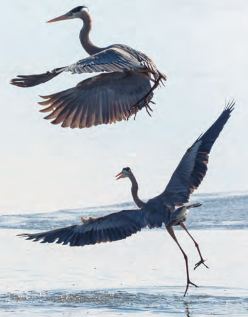 2 herons taking off into flight