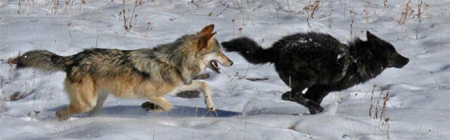 two wolves running right after each other