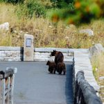 bear and 2 cubs on paved path