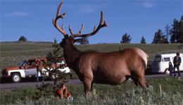 girls sits very near an elk