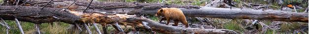 bear walking along fallen tree