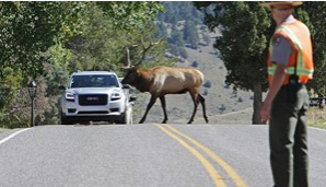bull elk crossing road, traffic stopped