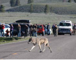 wolf crossing road with many people, even out of their cars, behind