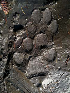 paw prints in mud