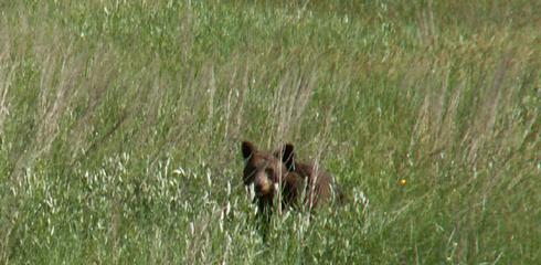 bear in tall grass