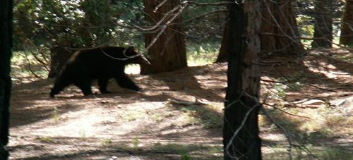 bear walking along forest path