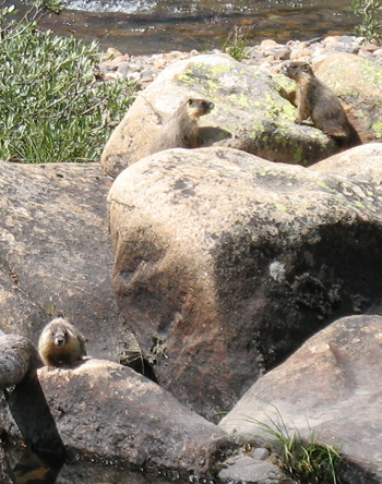 three marmots on rocks