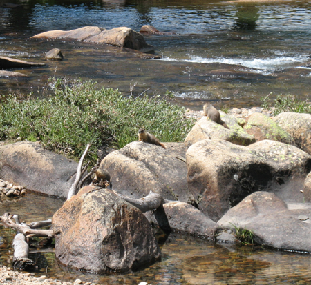 marmots on rocks by river