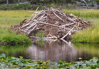 beaver lodge with pond in foreground