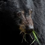 bear with grass in his mouth