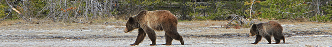 two bears walking