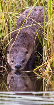 otter at edge of water
