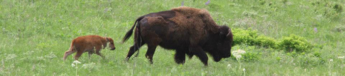 calf and adult bison