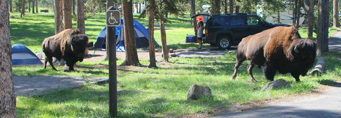 two bison in campground, bigger than two tents