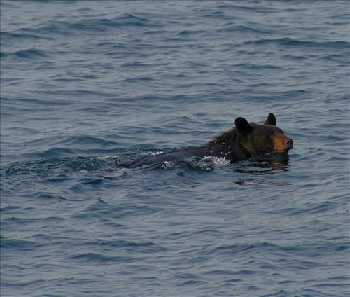 NPS photo black bear swimming