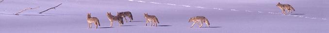 six coyotes