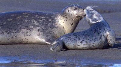 harbor seals nuzzling each other