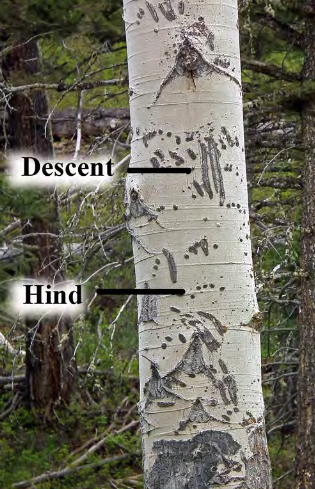 tree with scratch marks on trunk from a bear