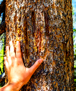 human hand on tree next to bear claw marks