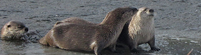 three otters in shallow water