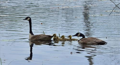 2 adult Canada Geese and four gosslings on a lake