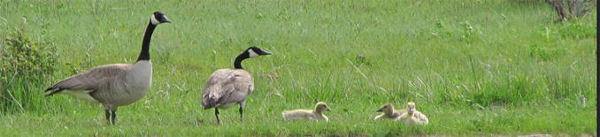 two adult Canada Geese and three goslings