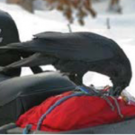 raven pecking at a bag on a motorcycle